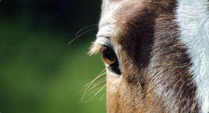 caballo-el-ojo